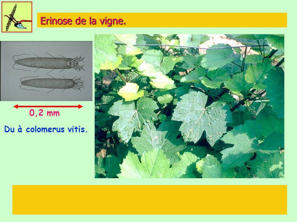 Erinose de la vigne. Du à colomerus vitis. 0,2 mm