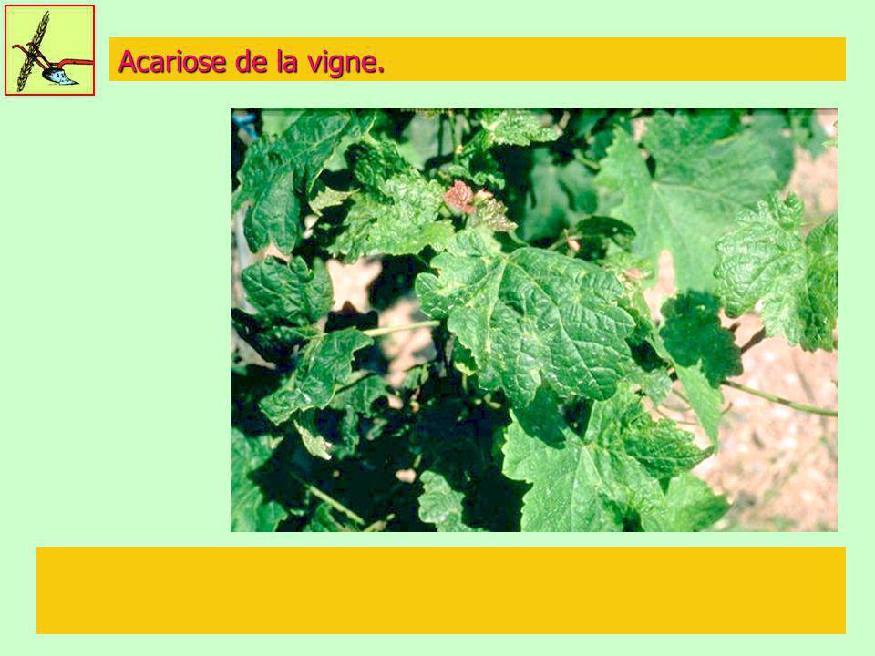 Acariose de la vigne.