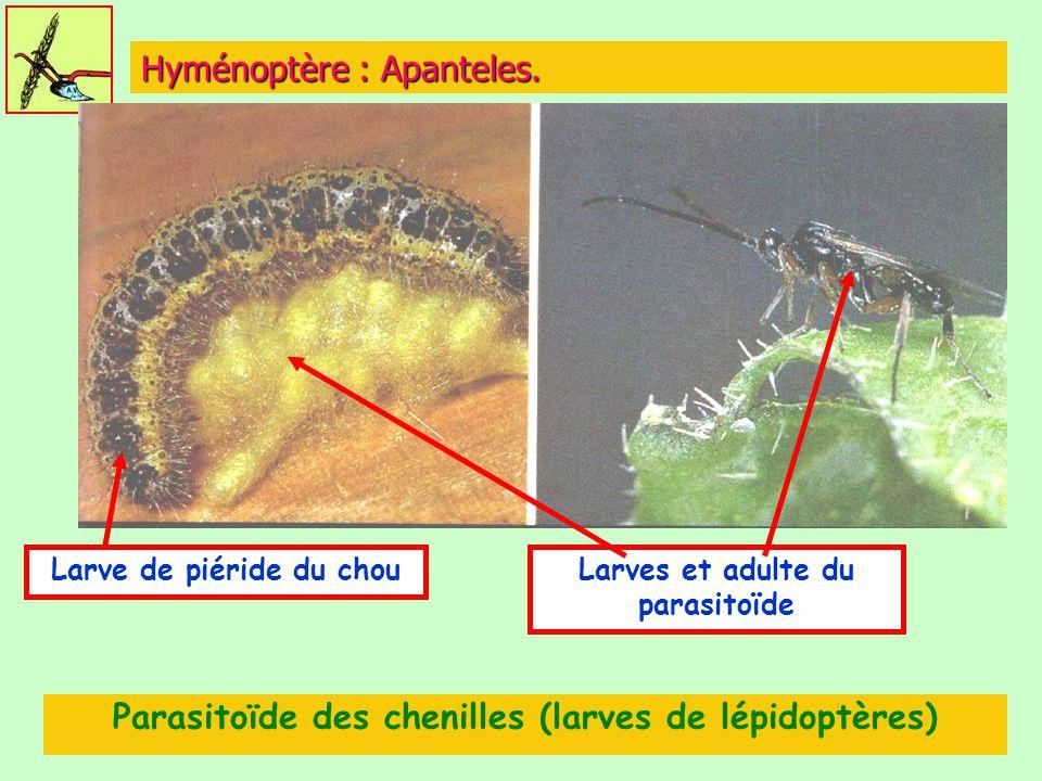 Hyménoptère : Apanteles. Parasitoïde des chenilles (larves de lépidoptères) Larve de piéride du chouLarves et adulte du parasitoïde