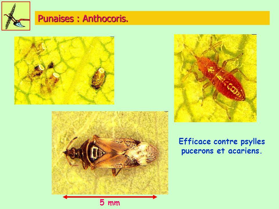 Punaises : Anthocoris. 5 mm Efficace contre psylles pucerons et acariens.