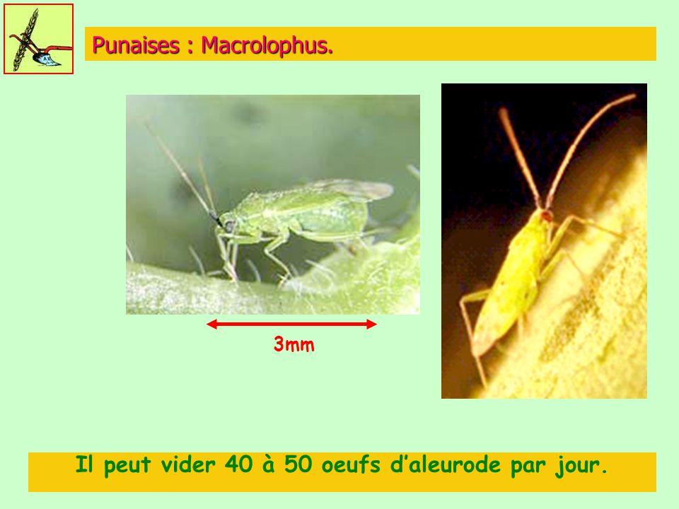 Punaises : Macrolophus. Il peut vider 40 à 50 oeufs d'aleurode par jour. 3mm