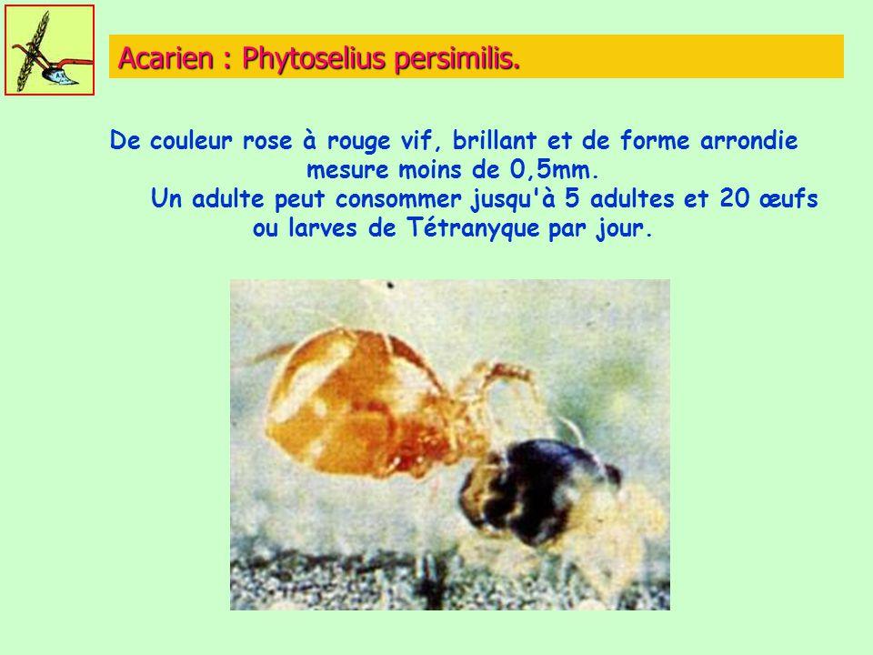 Acarien : Phytoselius persimilis. De couleur rose à rouge vif, brillant et de forme arrondie mesure moins de 0,5mm. Un adulte peut consommer jusqu'à 5