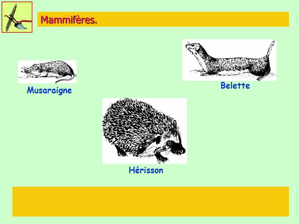 Mammifères. Musaraigne Belette Hérisson