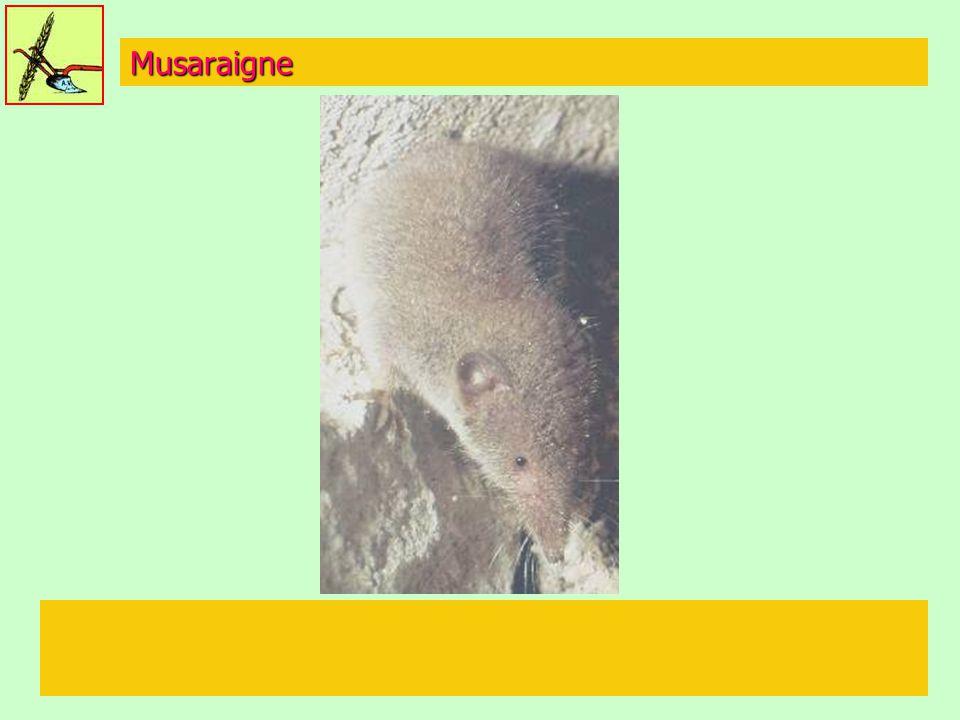 Musaraigne