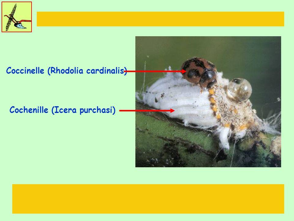Cochenille (Icera purchasi) Coccinelle (Rhodolia cardinalis)
