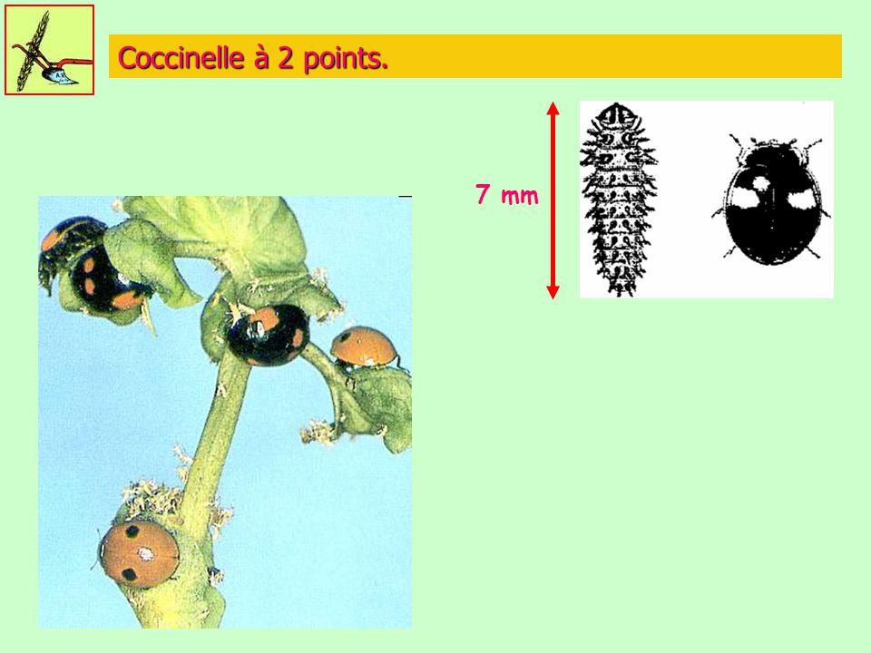 Coccinelle à 2 points. 7 mm