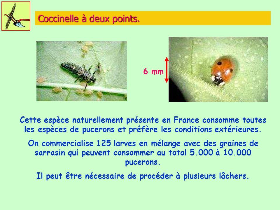 Coccinelle à deux points. Cette espèce naturellement présente en France consomme toutes les espèces de pucerons et préfère les conditions extérieures.