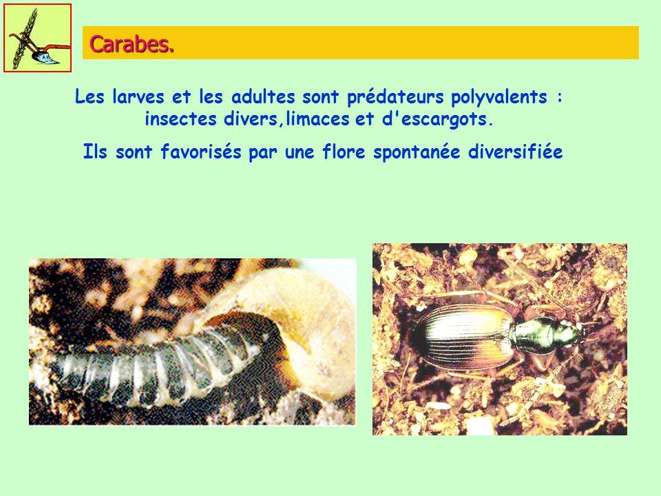 Carabes. Les larves et les adultes sont prédateurs polyvalents : insectes divers,limaces et d'escargots. Ils sont favorisés par une flore spontanée di