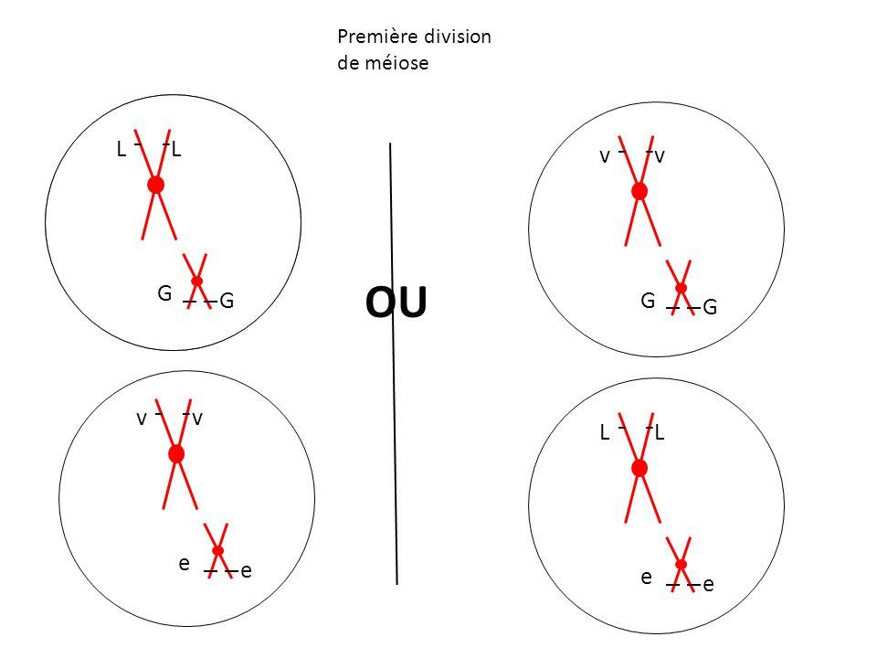 Première division de méiose LL OU L G L G v e v e v G v G L e L e