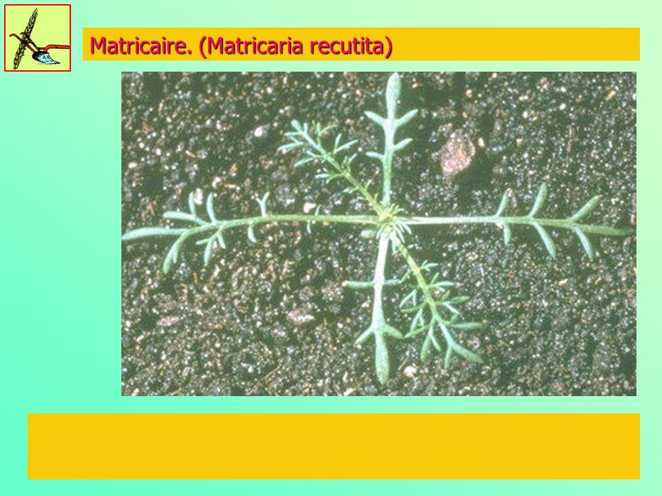 Matricaire. (Matricaria recutita)