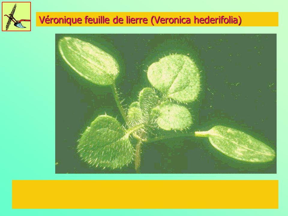 Véronique feuille de lierre (Veronica hederifolia)