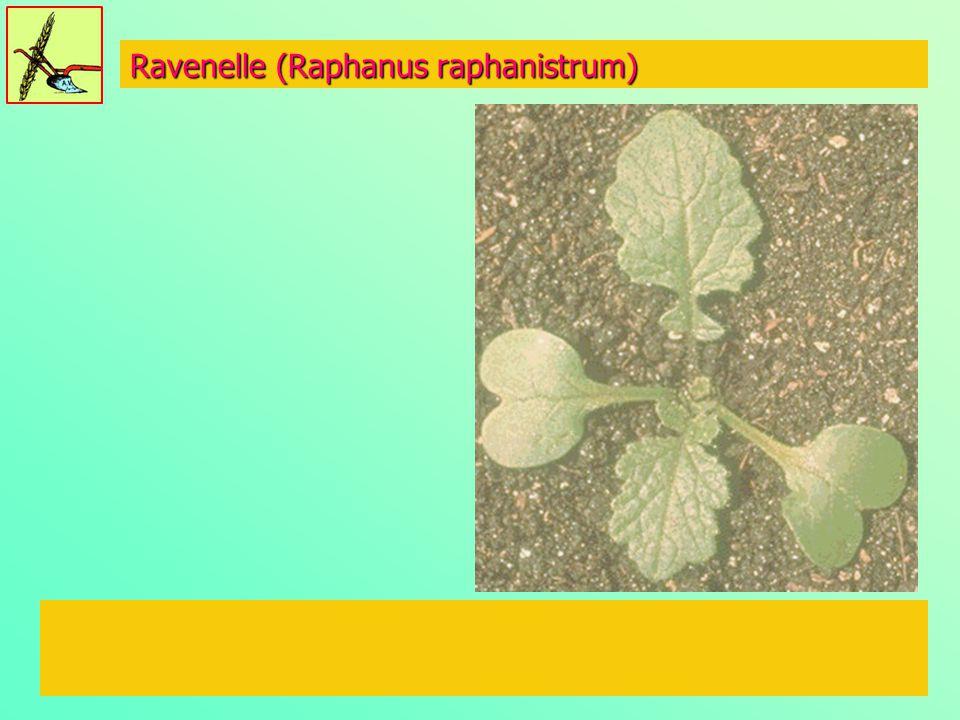 Ravenelle (Raphanus raphanistrum)