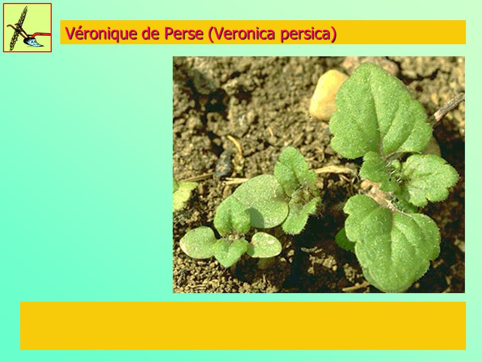 Véronique de Perse (Veronica persica)