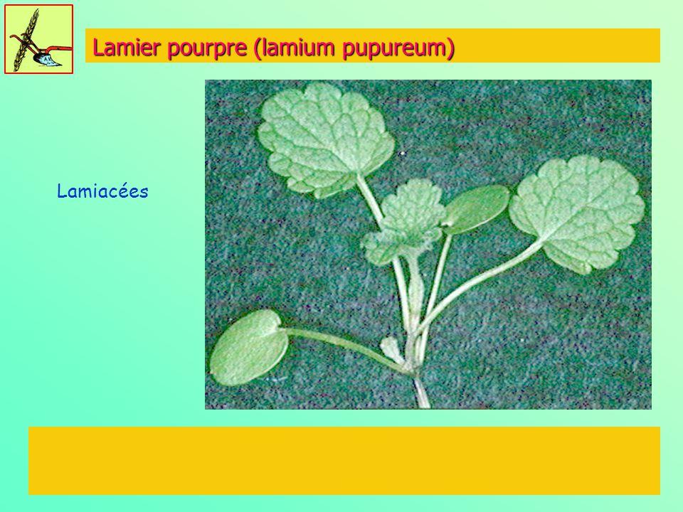 Lamier pourpre (lamium pupureum) Lamiacées