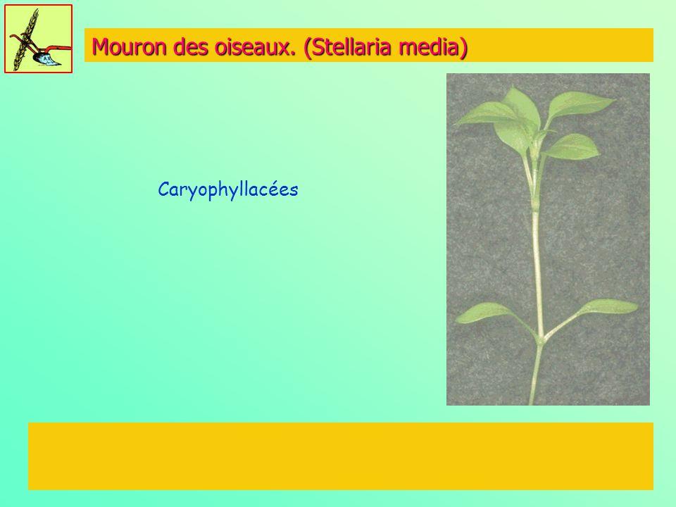 Mouron des oiseaux. (Stellaria media) Caryophyllacées