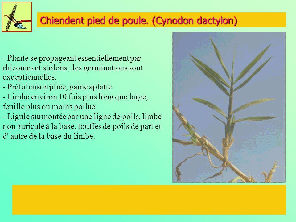 Chiendent pied de poule. (Cynodon dactylon) - Plante se propageant essentiellement par rhizomes et stolons ; les germinations sont exceptionnelles. -