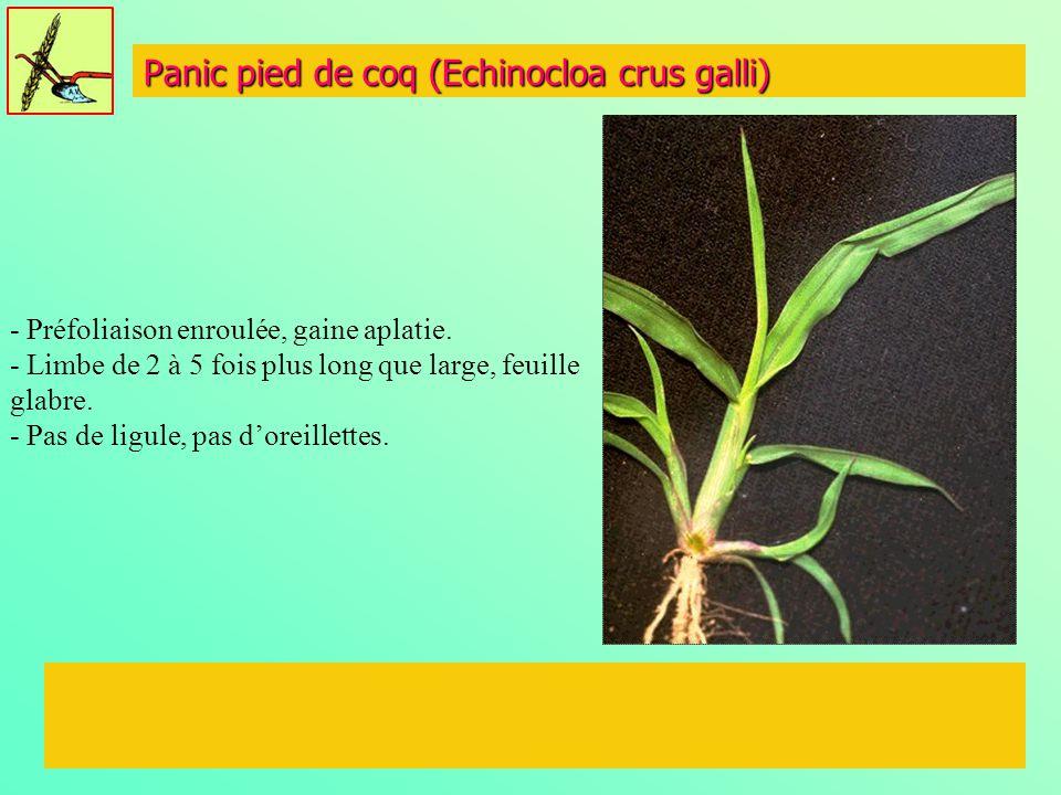 Panic pied de coq (Echinocloa crus galli) - Préfoliaison enroulée, gaine aplatie. - Limbe de 2 à 5 fois plus long que large, feuille glabre. - Pas de