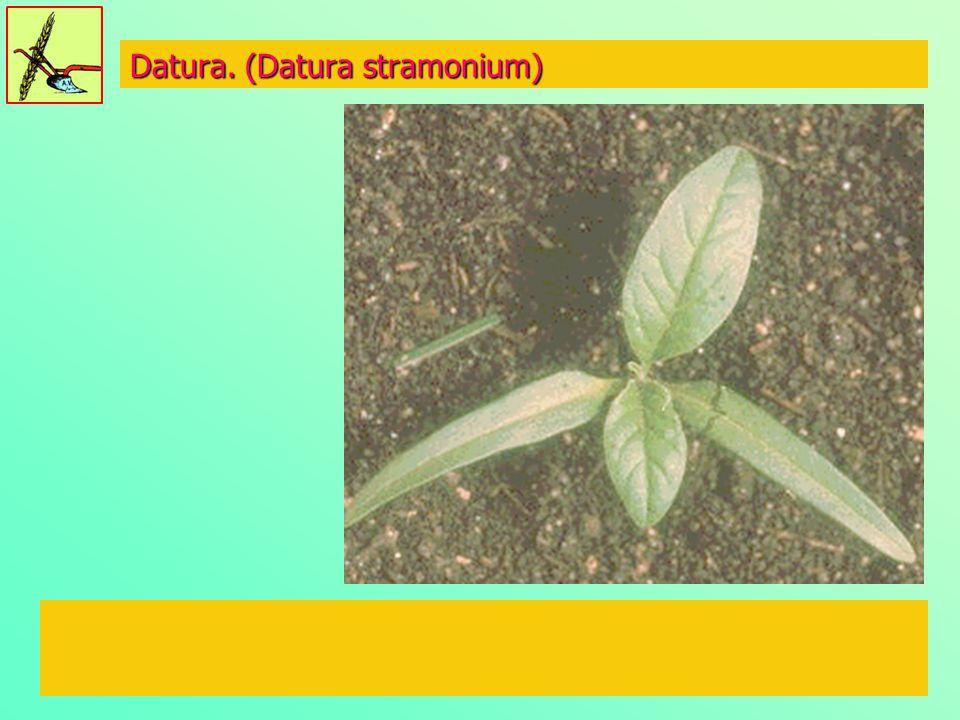 Datura. (Datura stramonium)