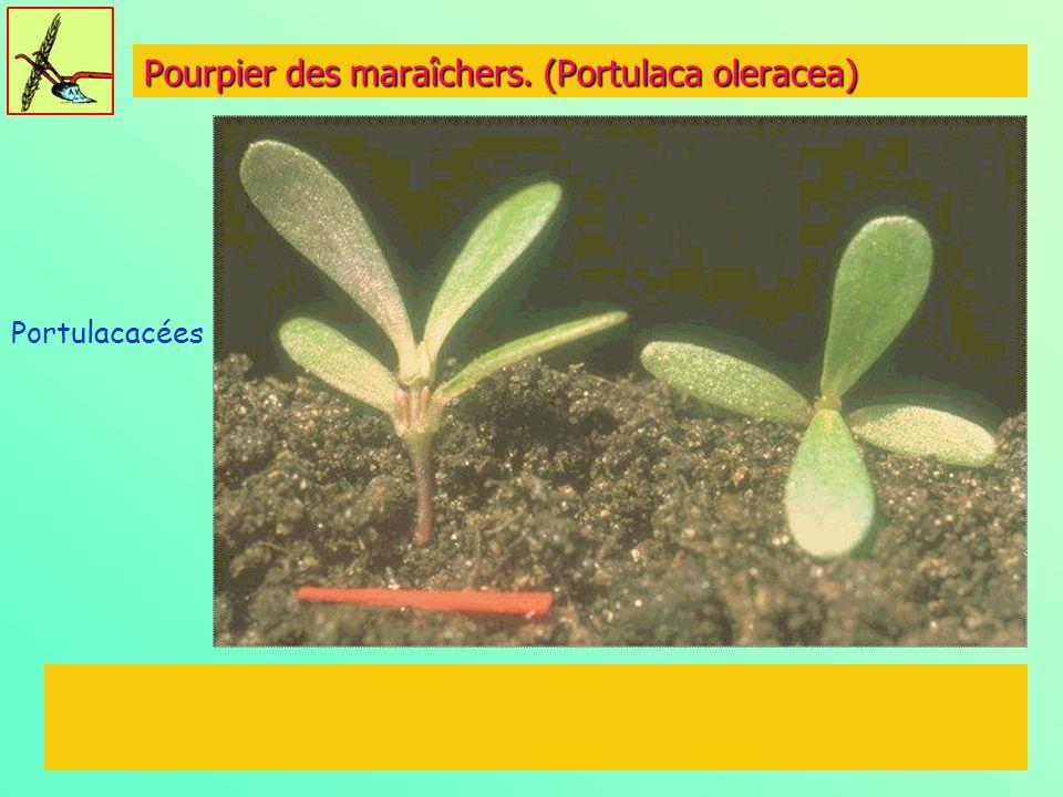 Pourpier des maraîchers. (Portulaca oleracea) Portulacacées