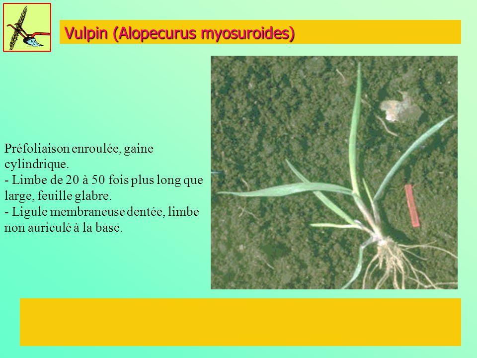 Vulpin (Alopecurus myosuroides) Préfoliaison enroulée, gaine cylindrique. - Limbe de 20 à 50 fois plus long que large, feuille glabre. - Ligule membra
