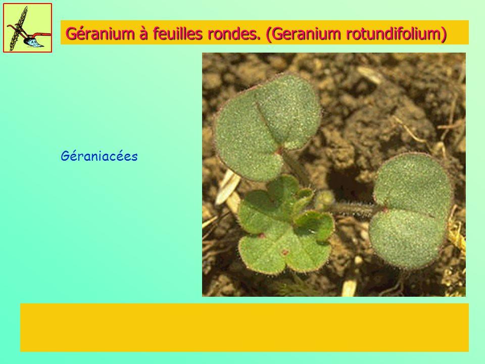 Géranium à feuilles rondes. (Geranium rotundifolium) Géraniacées