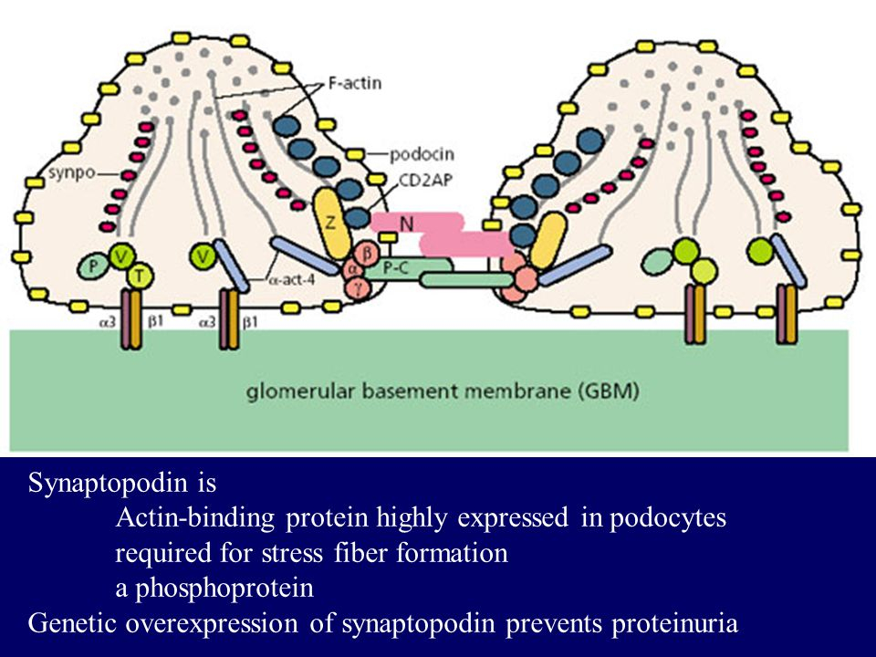 Synaptopodin is Actin-binding protein highly expressed in podocytes required for stress fiber formation a phosphoprotein Genetic overexpression of synaptopodin prevents proteinuria