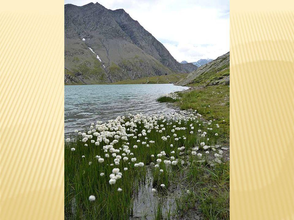 La linaigrette près des bords du lac du Goléon