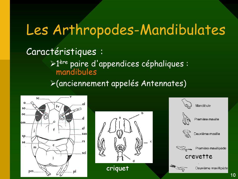 10 Les Arthropodes-Mandibulates Caractéristiques :  1 ère paire d'appendices céphaliques : mandibules  (anciennement appelés Antennates) criquet cre