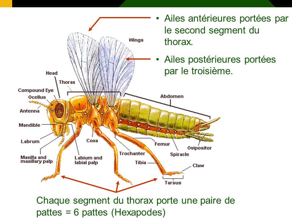 13 Ailes antérieures portées par le second segment du thorax. Ailes postérieures portées par le troisième. Chaque segment du thorax porte une paire de