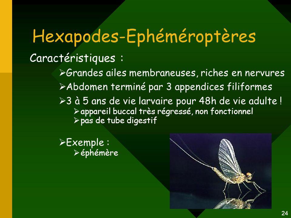 24 Hexapodes-Ephéméroptères Caractéristiques :  Grandes ailes membraneuses, riches en nervures  Abdomen terminé par 3 appendices filiformes  3 à 5