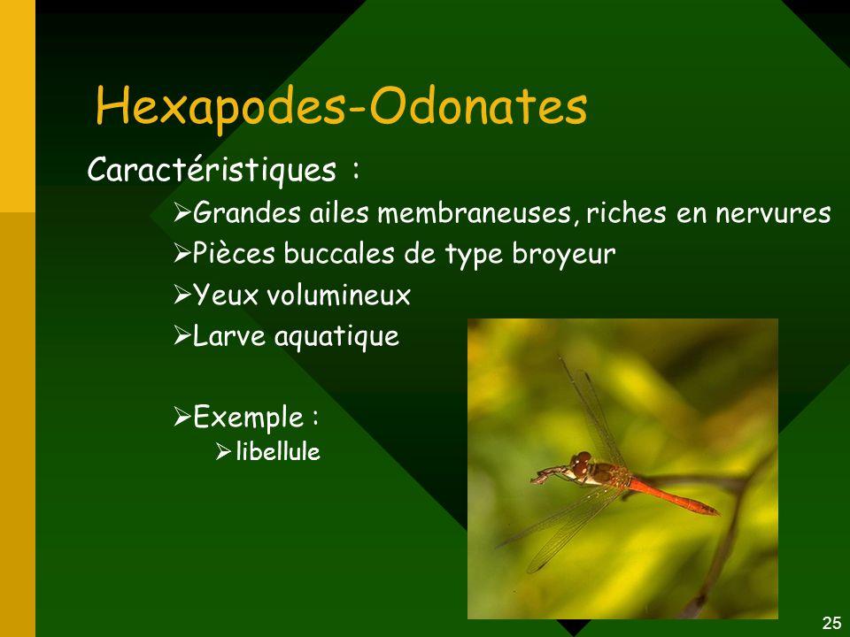 25 Hexapodes-Odonates Caractéristiques :  Grandes ailes membraneuses, riches en nervures  Pièces buccales de type broyeur  Yeux volumineux  Larve