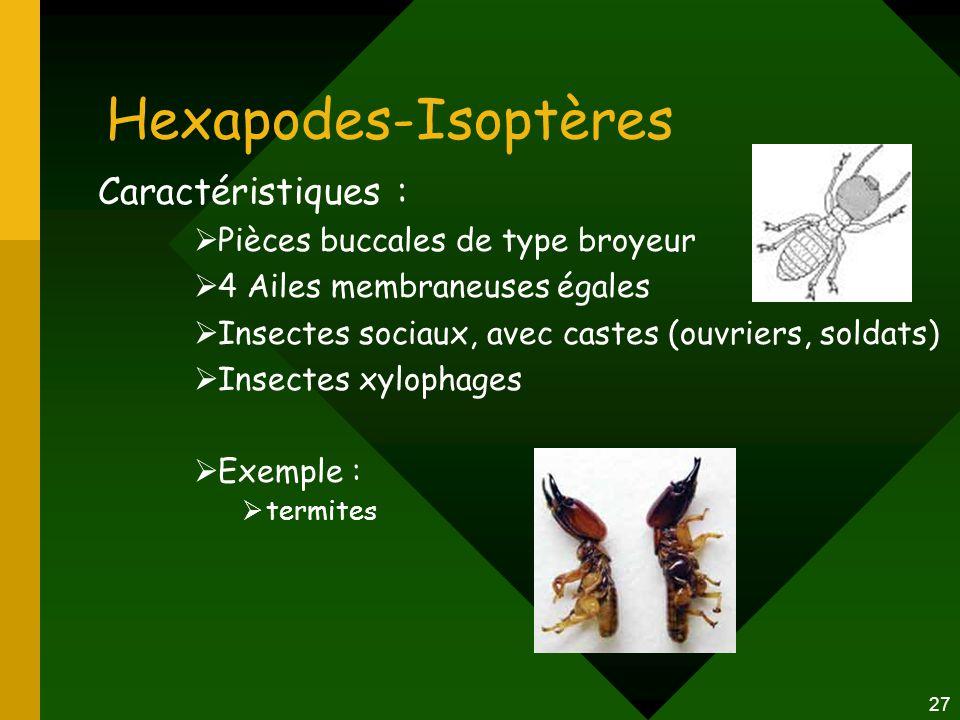 27 Hexapodes-Isoptères Caractéristiques :  Pièces buccales de type broyeur  4 Ailes membraneuses égales  Insectes sociaux, avec castes (ouvriers, s