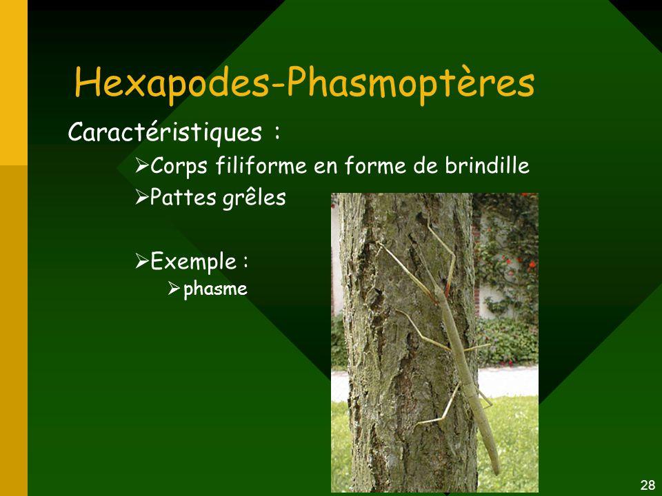 28 Hexapodes-Phasmoptères Caractéristiques :  Corps filiforme en forme de brindille  Pattes grêles  Exemple :  phasme