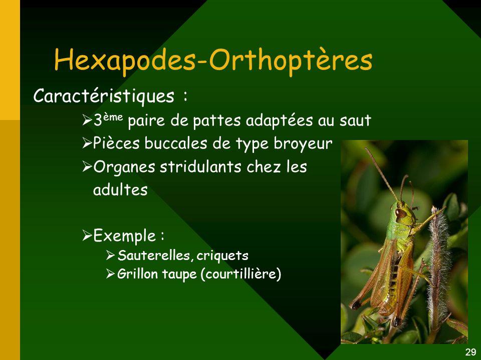 29 Hexapodes-Orthoptères Caractéristiques :  3 ème paire de pattes adaptées au saut  Pièces buccales de type broyeur  Organes stridulants chez les