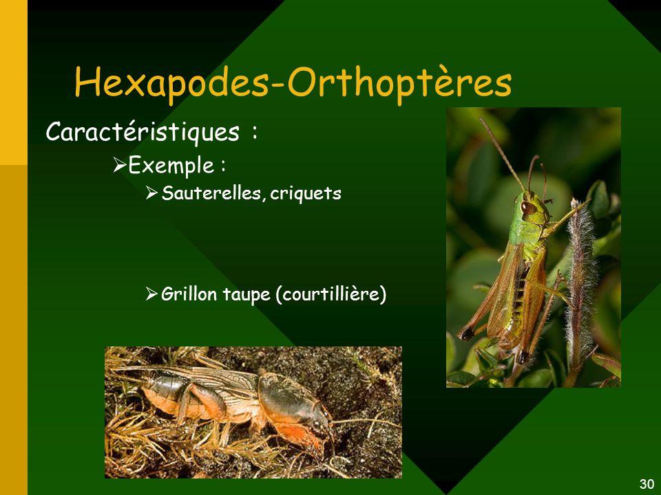 30 Hexapodes-Orthoptères Caractéristiques :  Exemple :  Sauterelles, criquets  Grillon taupe (courtillière)