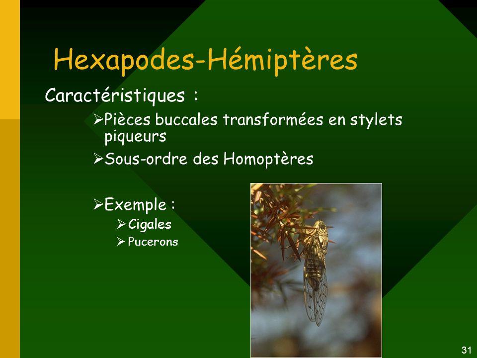 31 Hexapodes-Hémiptères Caractéristiques :  Pièces buccales transformées en stylets piqueurs  Sous-ordre des Homoptères  Exemple :  Cigales  Puce