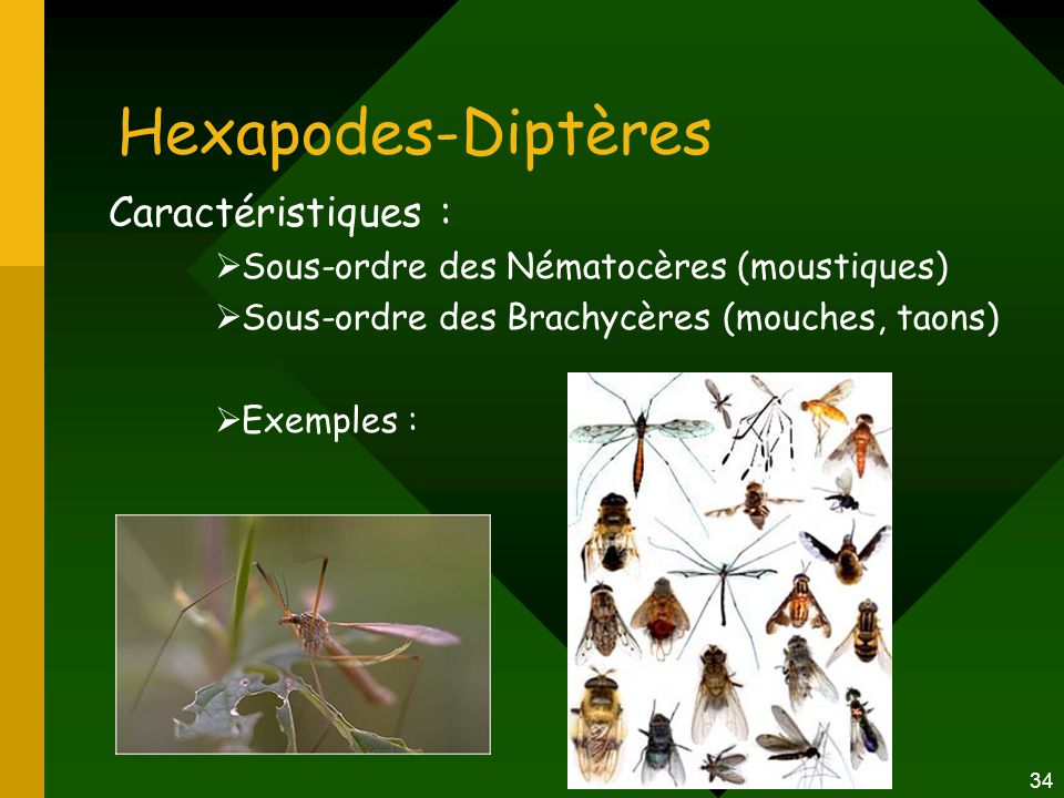 34 Hexapodes-Diptères Caractéristiques :  Sous-ordre des Nématocères (moustiques)  Sous-ordre des Brachycères (mouches, taons)  Exemples :