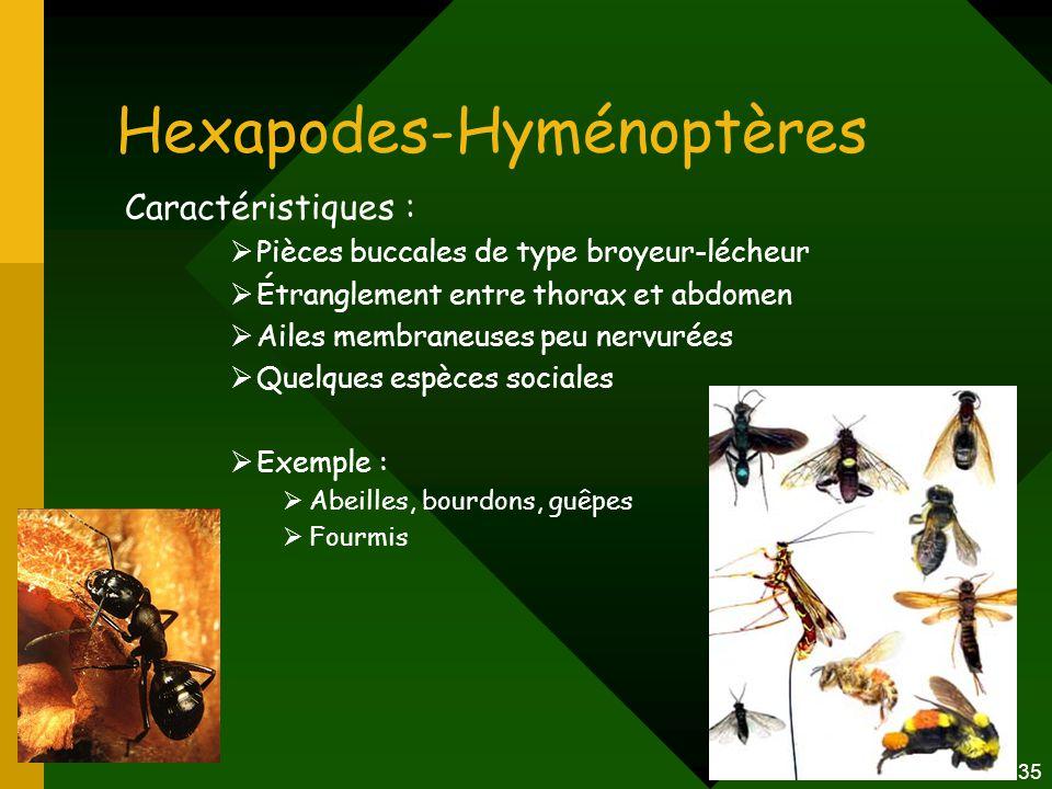 35 Hexapodes-Hyménoptères Caractéristiques :  Pièces buccales de type broyeur-lécheur  Étranglement entre thorax et abdomen  Ailes membraneuses peu