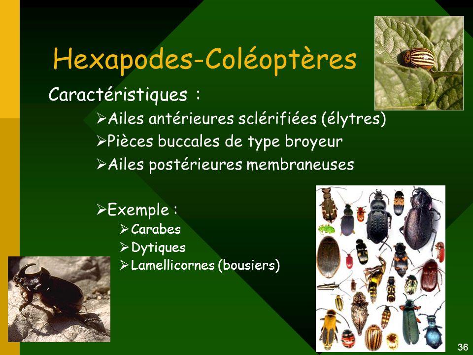 36 Hexapodes-Coléoptères Caractéristiques :  Ailes antérieures sclérifiées (élytres)  Pièces buccales de type broyeur  Ailes postérieures membraneu