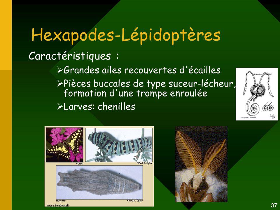 37 Hexapodes-Lépidoptères Caractéristiques :  Grandes ailes recouvertes d'écailles  Pièces buccales de type suceur-lécheur, formation d'une trompe e