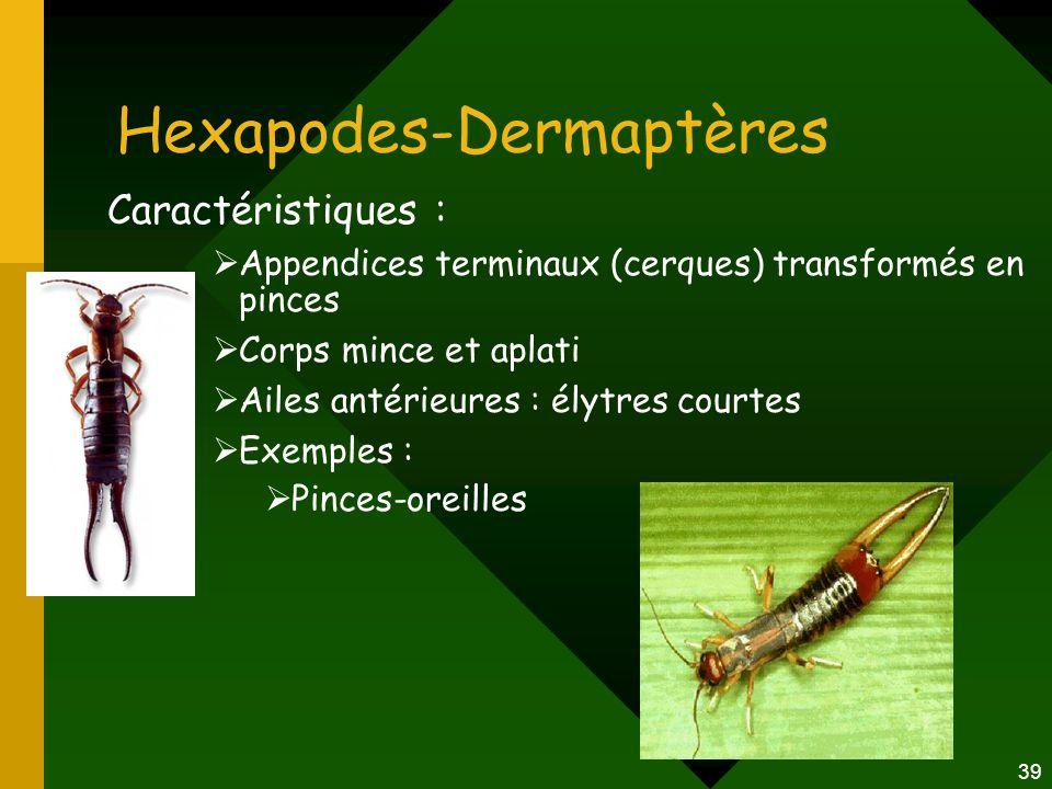 39 Hexapodes-Dermaptères Caractéristiques :  Appendices terminaux (cerques) transformés en pinces  Corps mince et aplati  Ailes antérieures : élytr