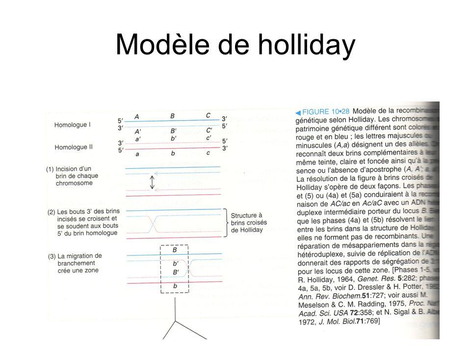 Modèle de holliday
