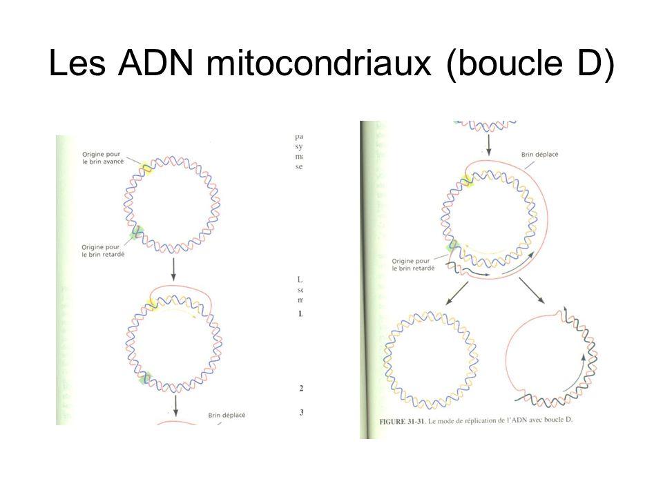 Les ADN mitocondriaux (boucle D)