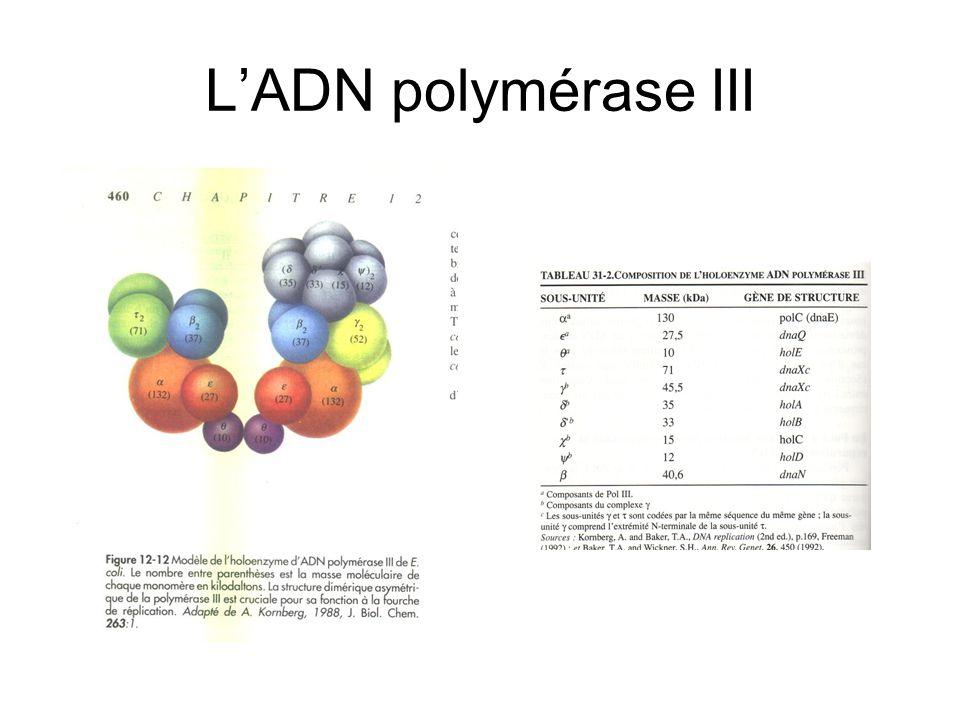 L'ADN polymérase III