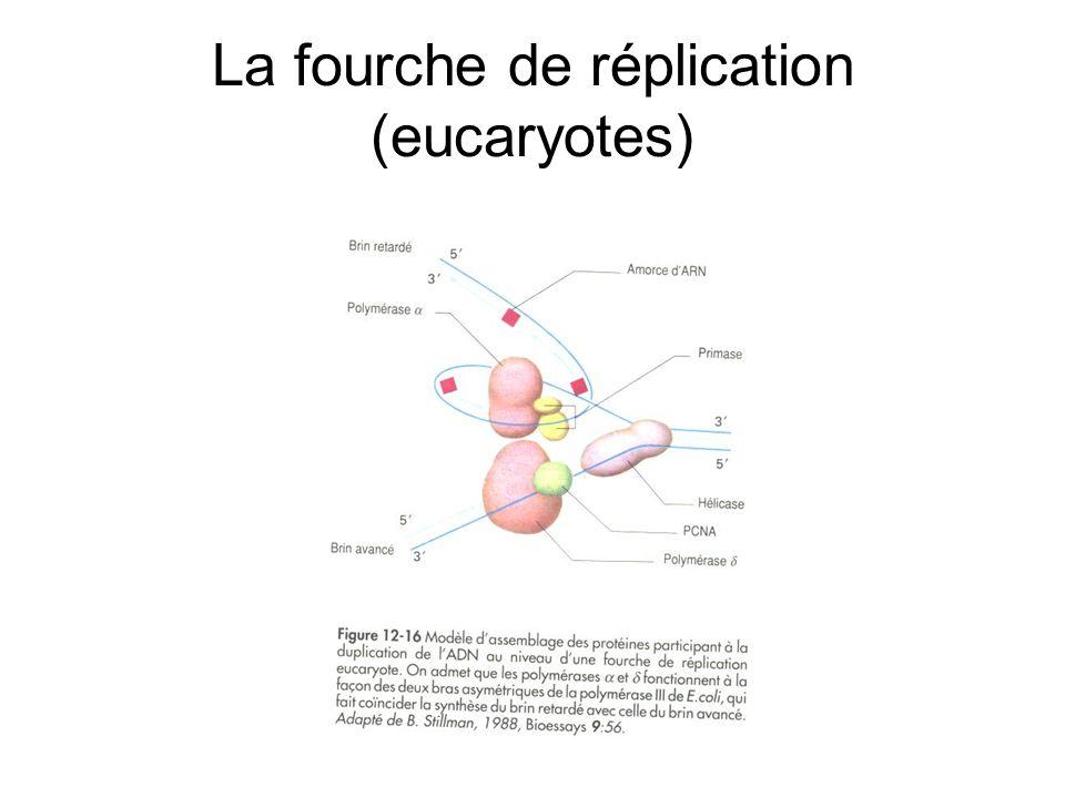 La fourche de réplication (eucaryotes)