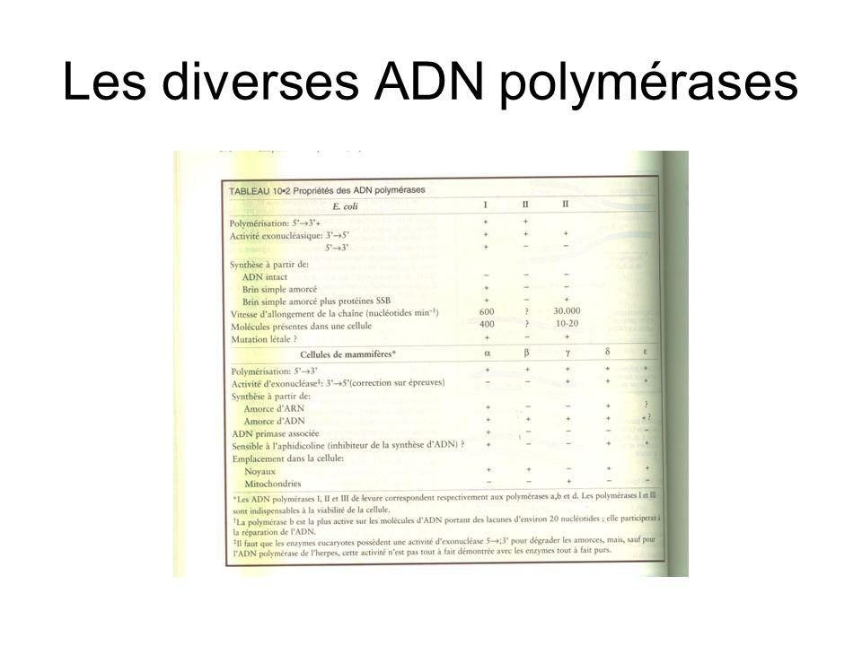 Les diverses ADN polymérases