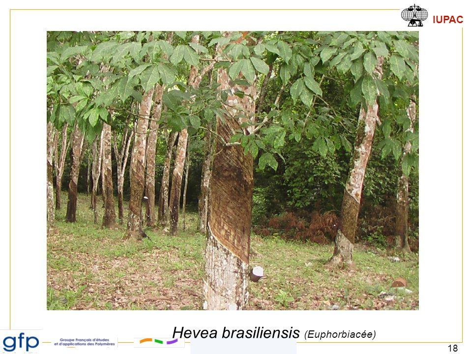 IUPAC 18 4.1. Elastomères Hevea brasiliensis (Euphorbiacée)