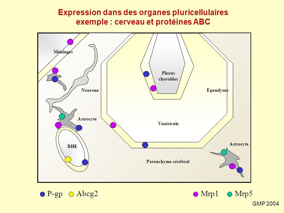GMP 2004 BHE Plexus choroïdes Ventricule Méninges Neurone Astrocyte Ependyme Parenchyme cérébral Astrocyte Mrp1 Abcg2 P-gp Mrp5 Expression dans des or