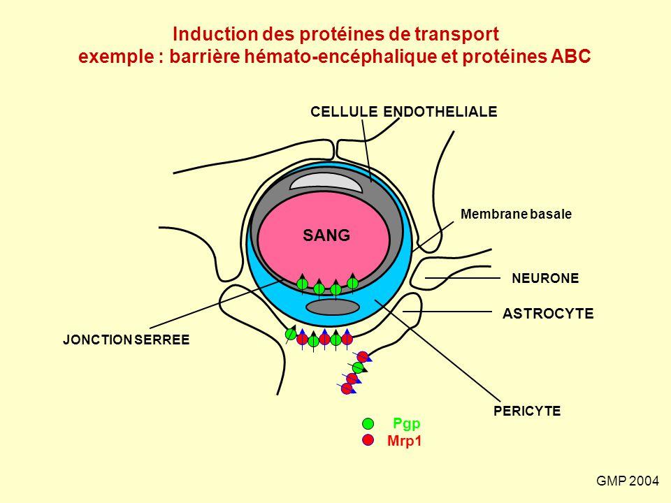 GMP 2004 JONCTION SERREE PERICYTE ASTROCYTE NEURONE CELLULE ENDOTHELIALE Membrane basale SANG Pgp Mrp1 Induction des protéines de transport exemple :