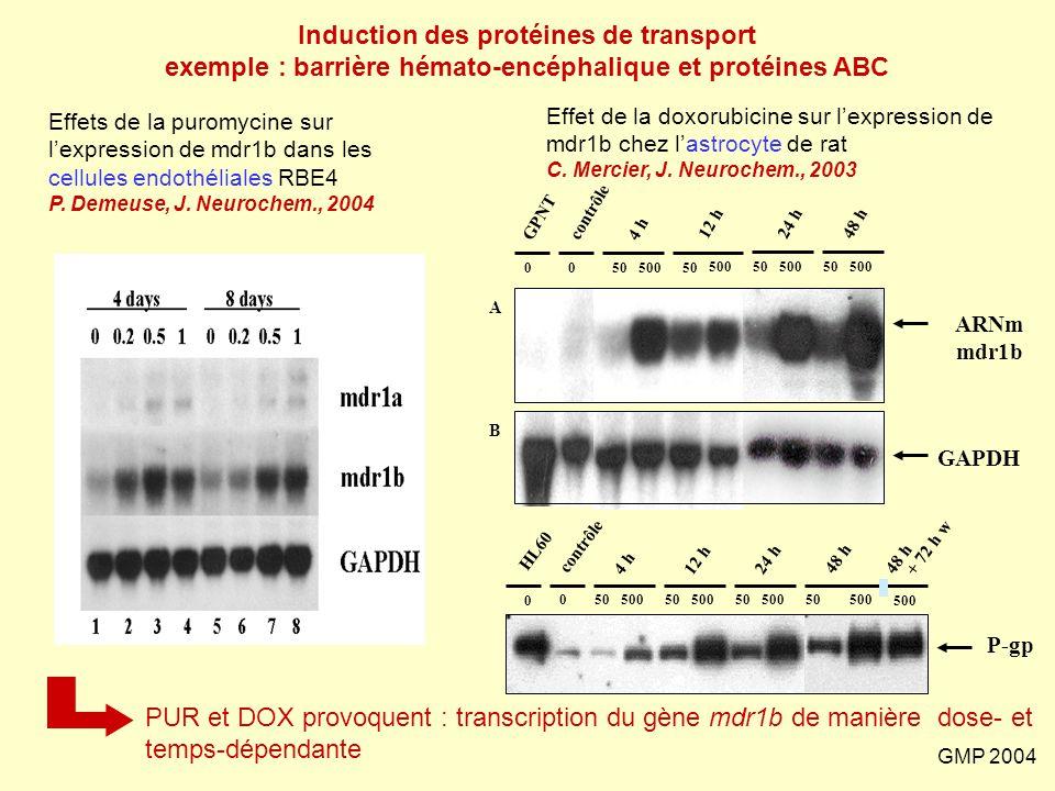 GMP 2004 PUR et DOX provoquent : transcription du gène mdr1b de manière dose- et temps-dépendante 0050500 GPNT contrôle 4 h 50 500 12 h24 h48 h 50500
